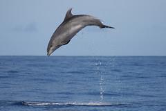 Tursiops Truncatus (PedroMadruga) Tags: wild canon 350d dolphin wildlife free voice pico wilderness azores aores blueribbonwinner specanimal abigfave botlenosedolphin pedromadruga southofpico