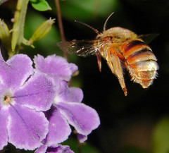 Coming in for a landing (aussiegall) Tags: flower buzz fly petals wings bee honey naturesfinest nativebee mywinner teddybearbee impressedbeauty ultimateshots superbmasterpiece