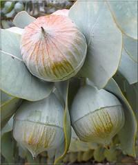 Eucalyptus (Uhlenhorst) Tags: travel reisen australia 2006 australien specnature