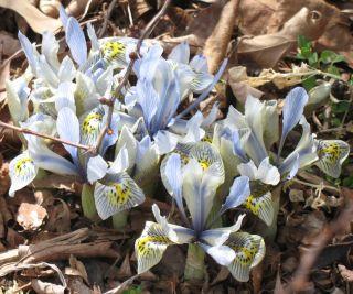 IMG_3344 iris reticulata katherine hodgkin 031207