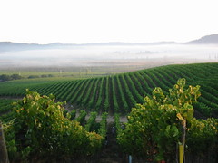 Early morning harvest with fog receding, Kingston Pinot Noir