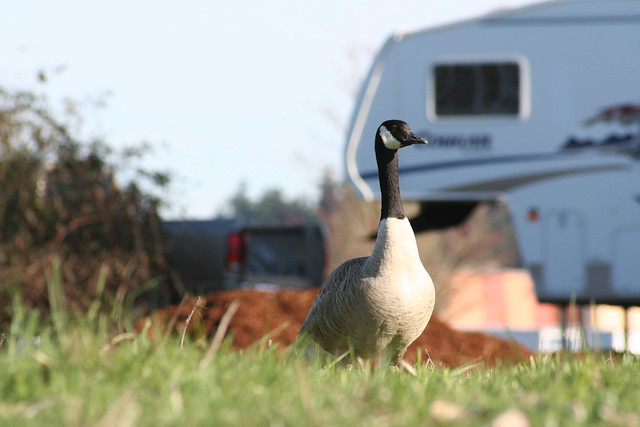 Goose with Traveler in the rear