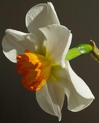 Sunny Narcissus (Kirsten M Lentoft) Tags: sun flower topc25 closeup spring daffodil narcissus naturesfinest abigfave colorphotoaward momse2600 kirstenmlentoft