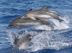 Stenella Frontalis (PedroMadruga) Tags: ocean wild canon 350d bravo dolphin wildlife azores açores golfinho pintado openocean toninha spotteddolphin pintadinha impressedbeauty pedromadruga