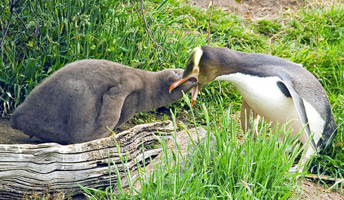 Yellow-Eyed Penguin Chick Seeking Food