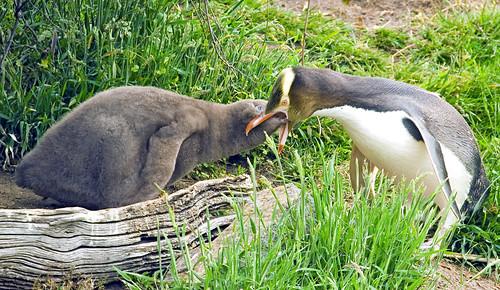 Yellow-Eyed Penguin Chick Seeking Food