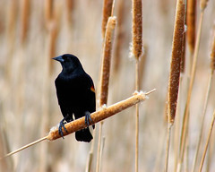 Cattail Perched Red-winged blackbird (Fort Photo) Tags: bird nature birds animal colorado searchthebest wildlife birding ave co ornithology blackbird avian latham 2007 redwing redwingedblackbird agelaiusphoeniceus icteridae passeriformes featheryfriday specnature specanimal animalkingdomelite anawesomeshot impressedbeauty superhearts