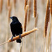 Cattail Perched Red-winged blackbird - by Fort Photo