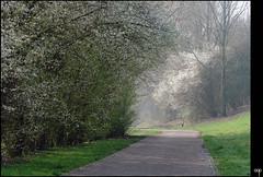 NL/Nieuwegein/Batau (oopsfotos.nl) Tags: trees sun mist holland netherlands misty spring blossom thenetherlands bloom gloom r1 cyclepath oop nieuwegein batau cyclistspath