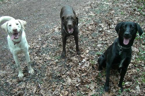 The Trifecta - three Labrador dogs