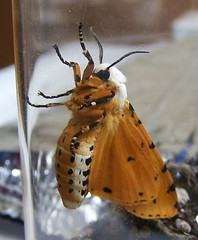 Salt Marsh Moth male (bottom) (Carla Finley) Tags: nature moth saltmarshmoth estigmeneacrea