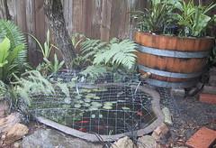 fish pond with barrel garden for filter (cskk) Tags: fish diy pond barrel bio homemade filter bog biofilter boggarden pondbarrelfilter barrelfilter pondbiofilter bogfilter