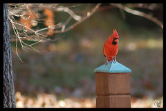 Cardinal on Post (wishymom (Stephanie Wallace Photography)) Tags: red bird birds cardinal northcarolina animalkingdomelite photofaceoffwinner thechallengegroup challengegamewinner pfogold pfohiddengem