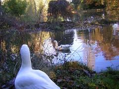 Blue Moon (zenera) Tags: family blue friends sky bird love nature wet water swimming reflections garden happy geese lyrics pond nikon pretty song zenfli bamboo goose special gus esmerelda goosetave bluemoon essie ellafitzgerald featheryfriday ocfd