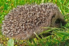 protection (Brenda Anderson) Tags: newzealand baby animal spiky wildlife hedgehog mybackyard igel babyanimal curiouskiwi erinaceuseuropaeus brendaanderson curiouskiwi:posted=200