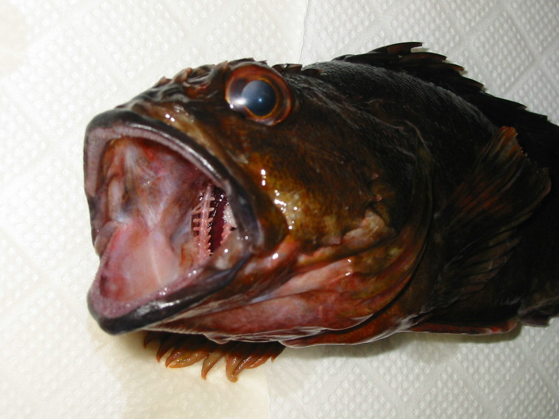 Rockfish's mouth カサゴの口!