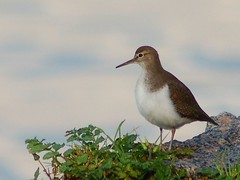 Maarico das rochas / Common Sandpiper (jvverde) Tags: bird portugal nature b