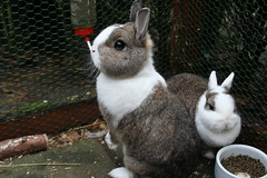 Curious rabbit (ksvrbrg) Tags: rabbit konijn curious alert dutchdwarf