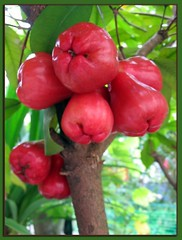 Rose Apple or Water Apple or Java Apple #2 (jayjayc) Tags: red plant fruits garden explore malaysia kualalumpur waxjambu javaapple naturesfinest waterapple tropicalgarden roseapple syzygiumsamarangense anawesomeshot explore20070107 eugeniajavanica naturefinest jjsgarden jayjayc