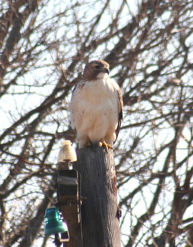 red-tailed hawk front