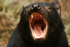 Tassie devil (1981Adam) Tags: travel vacation animal native expression yawn australia tasmania devil tassie tasmaniandevil tassiedevil
