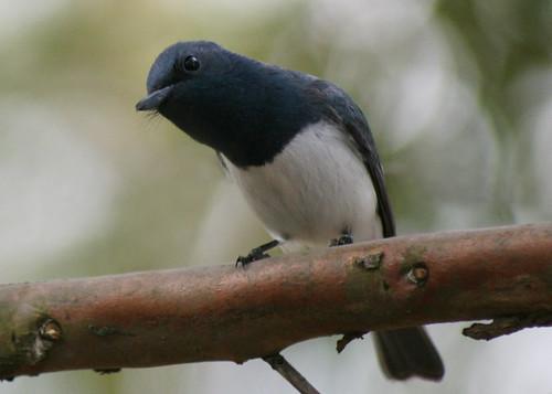 Male Satin Flycatcher