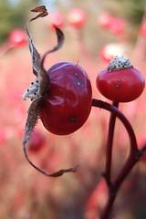 Rosehips (Clyde Barrett) Tags: rose newfoundland wildrose nl rosehips nfld abigfave clydebarrett