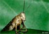 جرادة2 (N-S-S) Tags: macro nikon kuwait vr حشرة ناصر 105vr d2xs جرادة حشرات مايكرو الصليهم جرداه