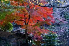 Red (DanielKHC) Tags: autumn red colors leaves japan tokyo interestingness pond shinjuku sony interestingness1 explore momiji gyoen alpha topf150 fp frontpage mapple orton a100 likeapainting 1000v40f abigfave 30faves30comments300views danielcheong raziks20 200750plusfaves explore18jan07 favoritegarden favemegroup1 danielkhc explorefp
