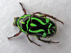 GREEN FIDDLER BEETLES - Eupoecila australasiae  - Cairns australia - Top View (emblatame (Ron)) Tags: green fauna patterns beetle australia cairns scarab lyre beetles coleoptera eupoecila australasiae fiddler auselite excapture