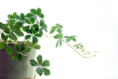 Dancing Leaves (yoshiko314) Tags: green leaves leaf dancing pot growing whiteground lively sugarvine