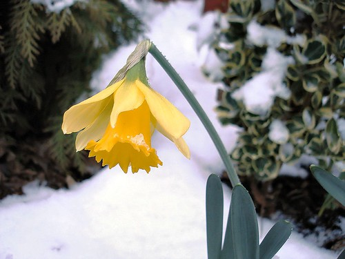 Confused weather, confused daffodil