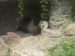 Tian Tian (vorpalrm) Tags: dczoo