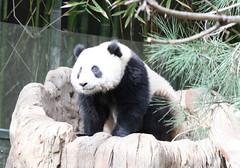 Su Lin getting some Sun (kjdrill) Tags: california bear baby zoo cub panda sandiego pandas endangeredspecies sdz sulin