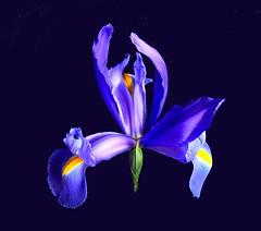 Iris of Isis (ladyloneranger) Tags: iris flower flora bravo purple soe excellence aclass irisonblack