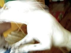 hyper much (Precious Roy) Tags: white blur portland mia hyper pitbulldog