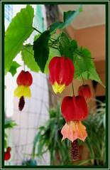 An arching branch of Abutilon megapotamicum (Brazilian Bellflower, Trailing Abutilon)