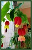 Abutilon megapotamicum / vexillarium (Flowering Maple, Trailing Abutilon)