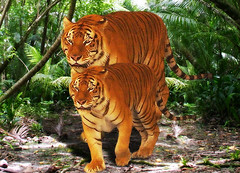 """Tiger, Tiger"" guessed by Pareeerica (Gravityx9) Tags: photoshop peta chop 051108 0508 namethatsong gotmeamuse psfofamily extremest peta3 song625"