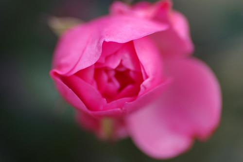 dive into petal