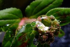 Bolinha de gude (Eneas Lopes) Tags: flowers brazil flores color water água brasil cores droplets plantas flor gotas droplet gota eneaslopes fowerr