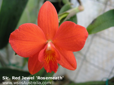 Slc. Red Jewel 'Rosemeath'