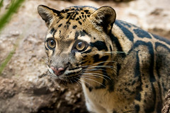 Clouded leopard (Heather Leah Kennedy) Tags: animal animals sanantonio cat zoo texas leopard cloudedleopard sanantoniozoo zoosofnorthamerica