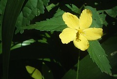 Little yellow flower (L.Lukatsky) Tags: flowers light sunlight flower green leaves yellow closeup garden spring close little flor