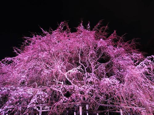 六義園しだれ桜 2