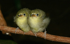 Cape White-eyes (juvenile) (zosterops capensis) - by Arno & Louise