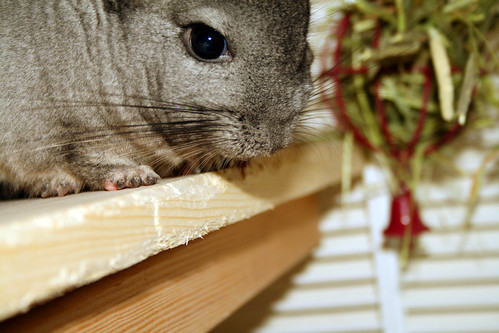 kiwi says hello -- chinchilla kiwi cute pet chin chinchillas fuzzy hello says