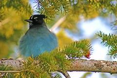 Puffy Fluffy Jay (Beefus) Tags: blue bird nature utah ut jay bryce brycecanyon animalplanet orton stellersjay naturescenes brycecanyonnationalpark avianexcellence
