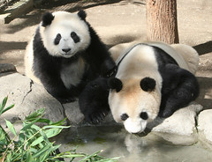 Bai Yun and Su Lin's last day together (kjdrill) Tags: california bear usa reflection pool giant mom zoo cub interestingness panda sandiego bears explore fv10 baiyun pandas endangeredspecies sdzoo sulin blueribbonwinner colorphotoaward impressedbeauty fcawinner