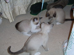 kittens love ribbons!